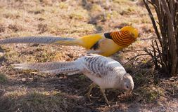 Gorgeous golden pheasant Stock Images