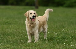 Gorgeous Golden Retriever Royalty Free Stock Image