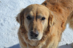 Gorgeous Golden Retriever Dog. Beautiful golden retriever dog with silky fur and snow Royalty Free Stock Images