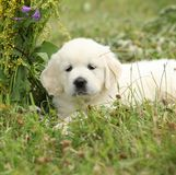 Gorgeous golden retriever puppy with flowers Royalty Free Stock Photo