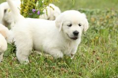 Gorgeous golden retriever puppy Royalty Free Stock Image