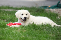 Gorgeous golden retriever puppy lying Royalty Free Stock Photography
