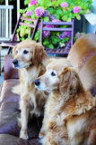Gorgeous golden retrievers on couch Stock Images