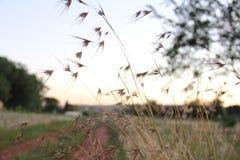 Themeda triandra in field at dusk Royalty Free Stock Photography