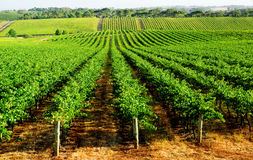 Gorgeous Green Vineyard Stock Image