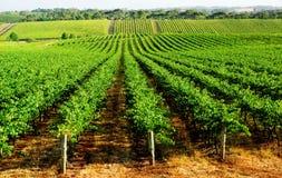Gorgeous Green Vineyard Stock Image