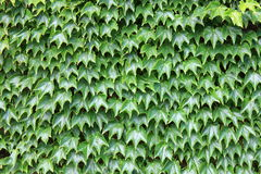 Gorgeous green wall Stock Image