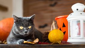 Gorgeous grey cat lying down on a table with Halloween decorations. stock photos