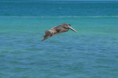 Gorgeous Grey Pelican with his Wings Extended in Flight Royalty Free Stock Photo