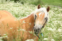 Gorgeous haflinger with bridle Royalty Free Stock Image