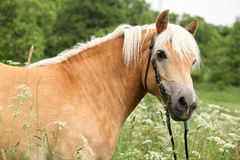 Gorgeous haflinger with bridle Stock Images