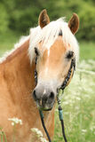 Gorgeous haflinger with bridle Royalty Free Stock Photos