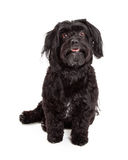Gorgeous Havanese Dog Sitting With Mouth Open Stock Images