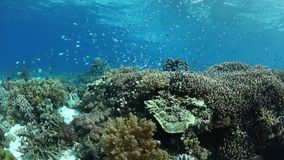 Gorgeous and Healthy Coral Reef in Alor, Indonesia. A beautiful and healthy coral reef thrives near the island of Alor, Indonesia. This remote region, within the stock video footage