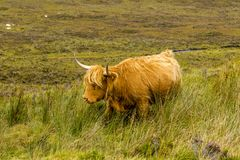A gorgeous highland cow walking through its grassy field royalty free stock photos