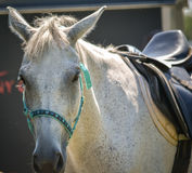 Gorgeous Horse at an Equestrian Show Horse Jumping Event Stock Images