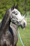 Gorgeous horse with nice halter Stock Photos