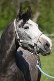 Gorgeous horse with nice halter Stock Photography