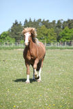 Gorgeous horse running on flowered pasturage Royalty Free Stock Photography
