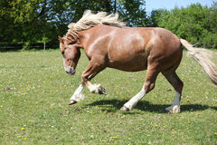Gorgeous horse running on flowered pasturage Stock Images