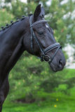 Gorgeous horse stallion portrait in the summer against greenery. Close-up royalty free stock image