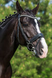 Gorgeous horse stallion portrait in the summer against greenery. Close-up stock photo