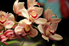 Gorgeous image of exotic orchids Royalty Free Stock Photos