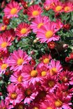Vertical image of lush and healthy hardy mum plants in the color of pink Stock Photos