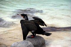 Gorgeous image of White-Breasted Cormorant Stock Image