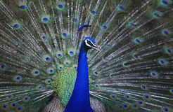 Gorgeous of indian peacock Royalty Free Stock Images