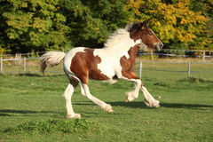 Gorgeous irish cob foal running on pasturage Stock Image