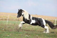 Gorgeous irish cob with long mane jumping Stock Image