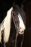 Gorgeous irish cob stallion on black background royalty free stock photos