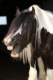 Gorgeous irish cob stallion on black background Royalty Free Stock Images