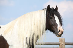 Gorgeous irish cob stallion with long mane Stock Images