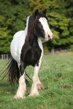 Gorgeous irish cob standing on pasture Royalty Free Stock Image