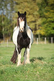 Gorgeous irish cob standing on pasture Stock Image