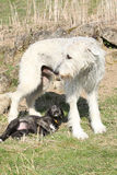 Gorgeous Irish Wolfhound parenting the young one Stock Photos