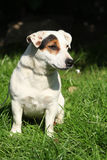 Gorgeous Jack Russel terrier in the garden Royalty Free Stock Photo