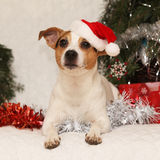 Gorgeous Jack russell with Santa hat in christma Royalty Free Stock Photo