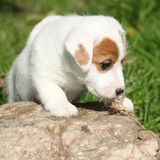 Gorgeous jack russell terrier puppy on some stone Stock Photography