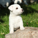 Gorgeous jack russell terrier puppy on stone Stock Photos