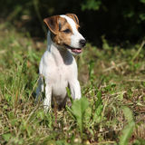 Gorgeous jack russell terrier sitting in the garden Royalty Free Stock Photography