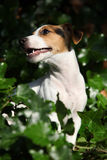 Gorgeous jack russell terrier sitting in the garden Royalty Free Stock Photo