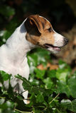 Gorgeous jack russell terrier sitting in the garden Royalty Free Stock Images