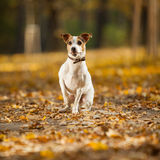 Gorgeous jack russell terrier sitting in yellow leaves Stock Image