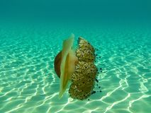 A gorgeous jellyfish in the sea waters of Sithonia, Chalkidiki, Greece. A gorgeous jellyfish in the sea waters of Sithonia, Greece Royalty Free Stock Photography