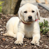 Gorgeous labrador retriever puppy looking at you Royalty Free Stock Photo