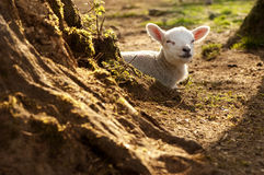 Gorgeous lamb Royalty Free Stock Photography