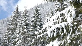 Gorgeous lanscape of pine tree in mountains. Covered with snow stock footage